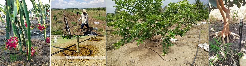 Tưới nhỏ giọt cuốn quanh gốc cho cây