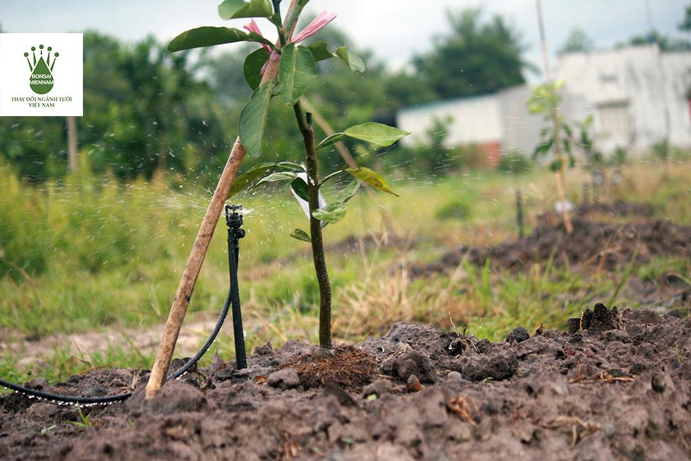 tưới phun cho cây bưởi lúc còn nhỏ