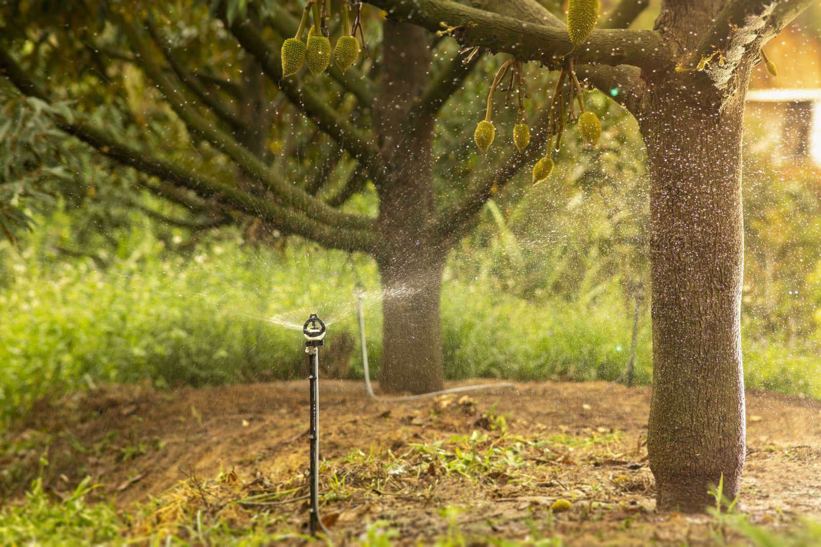 bssuper tưới cho cây sầu riêng tại lâm đồng