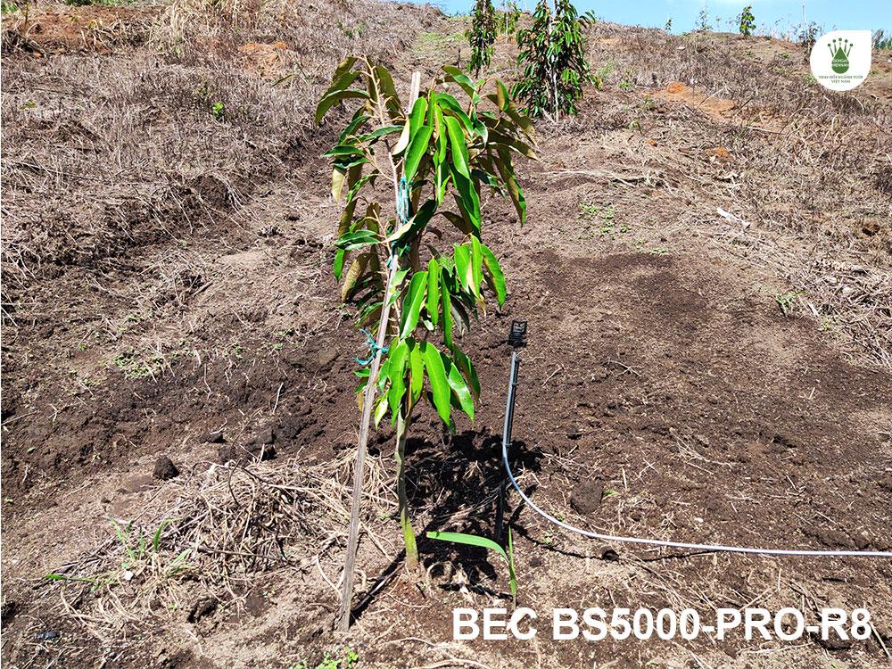 Vườn có trồng xen một số cây sầu riêng.