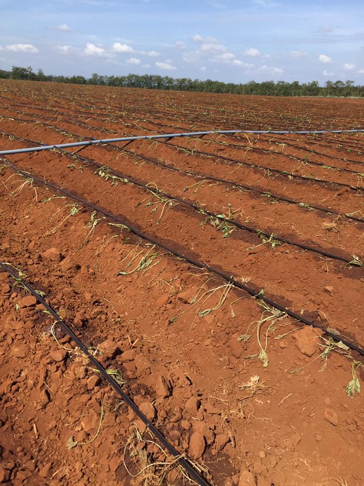 Luống trồng khoai Lang nhật