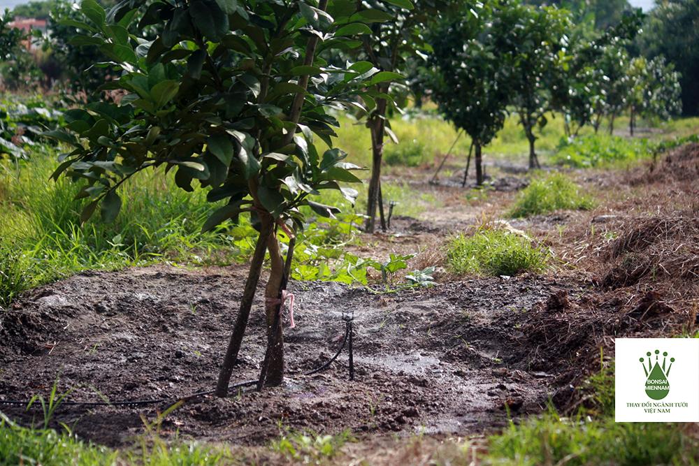 BS5000 tưới cho cây ăn trái