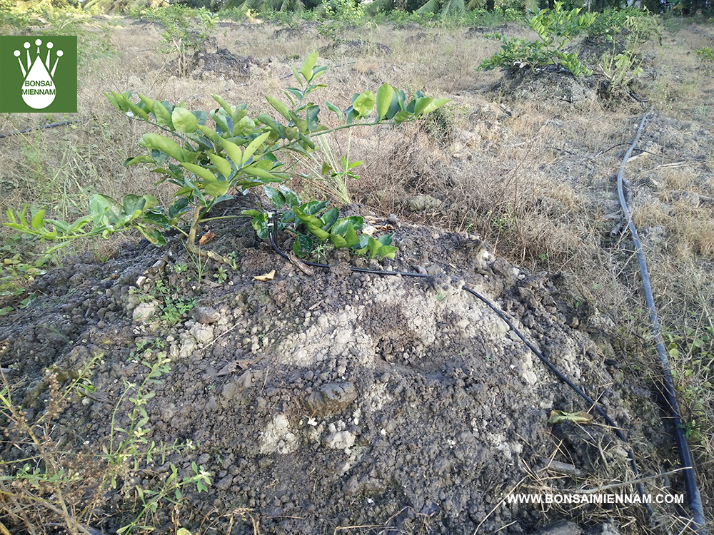 tưới phun mưa cục bộ cho cây chanh