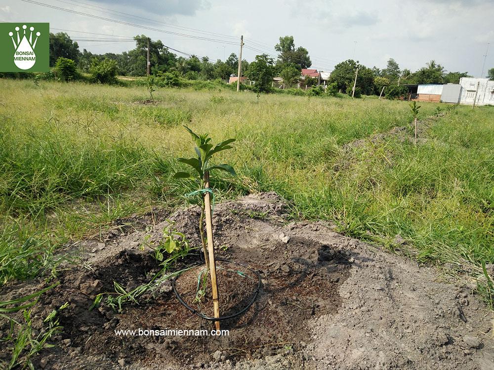 tưới nhỏ giọt cho cây bưởi tại Tây Ninh