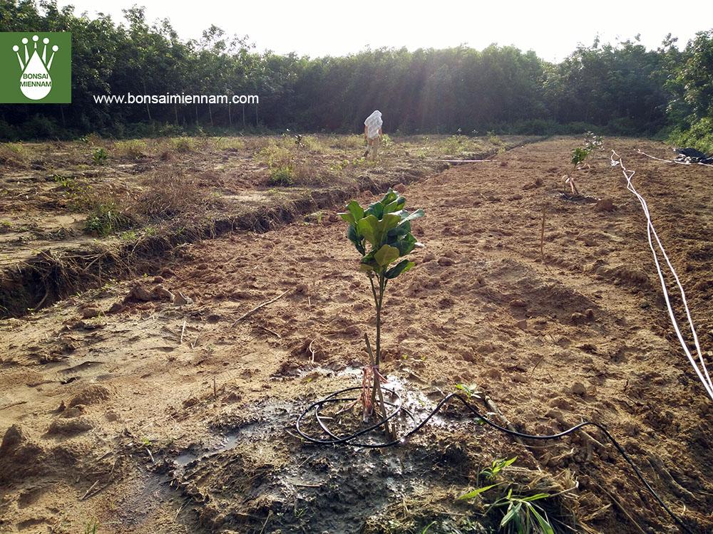 tưới nhỏ giọt cho cây bưởi tại Tân Uyên